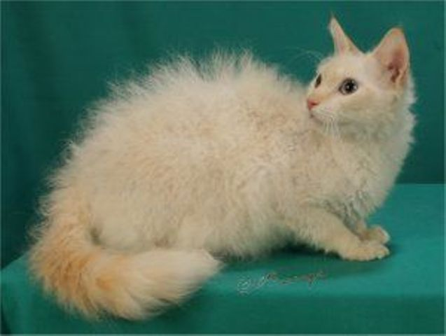Кудрявая кошка лаперм