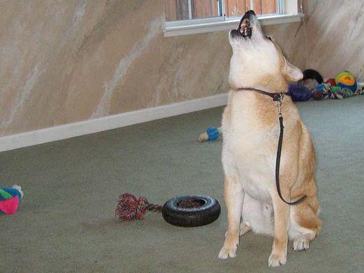 Собака воет в комнате