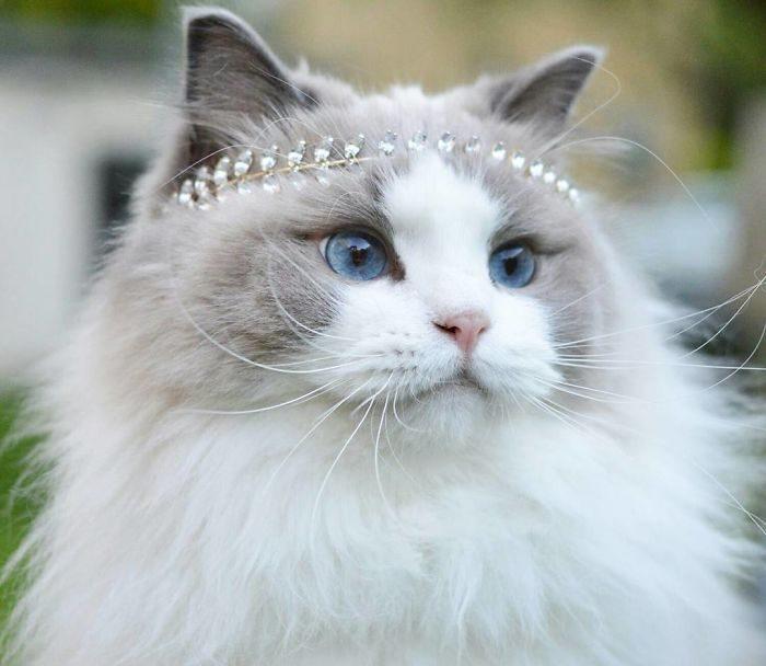 Самая красивая кошка в мире с диадемой