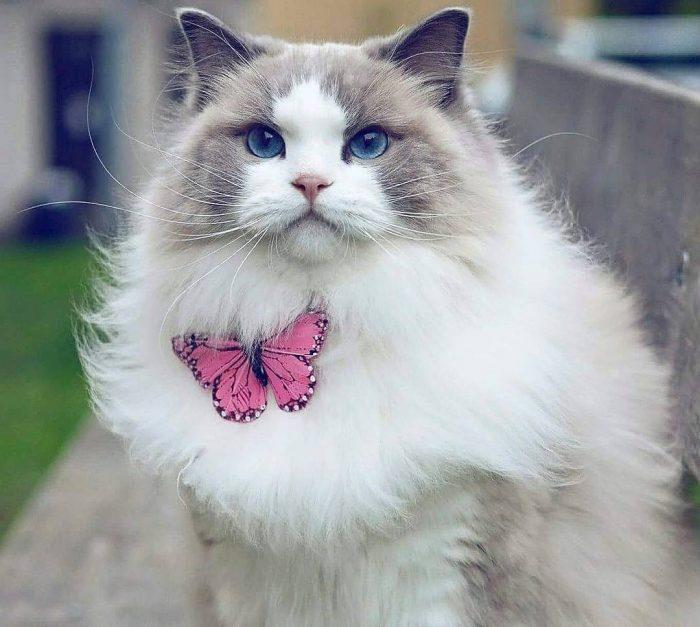 Самая красивая кошка Аврора с бабочкой