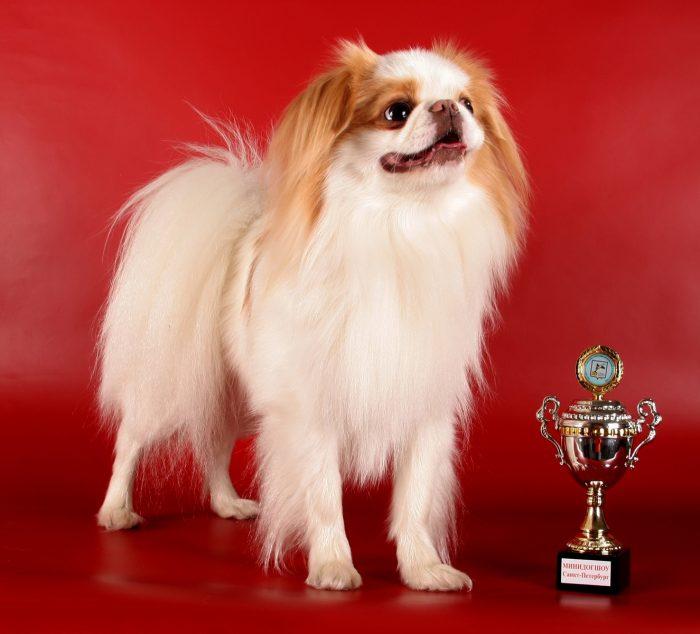 Японский хин — призёр конкурса