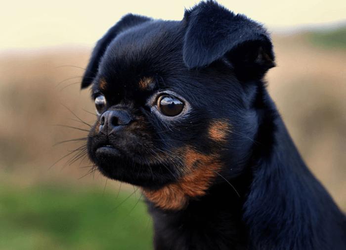 Милая мордочка пти брабансона