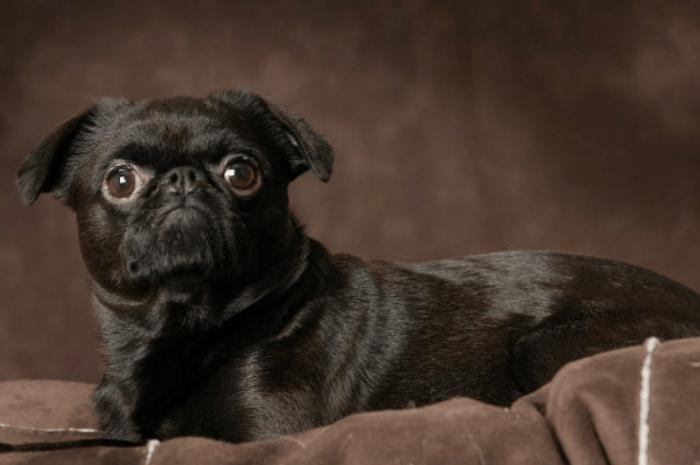 Чёрный пти брабансон