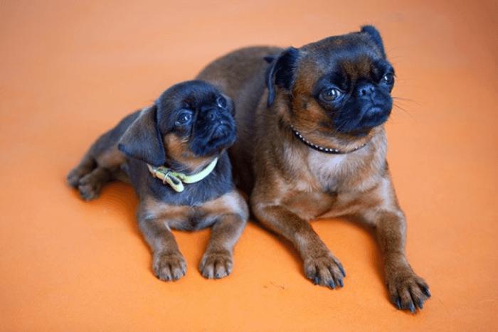 Пти брабансон и щенок