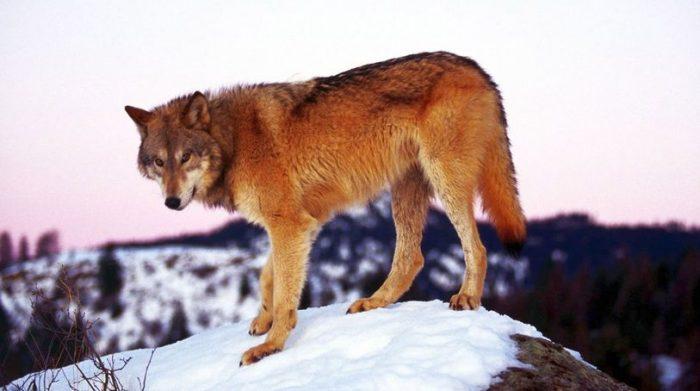 Рыжий волк