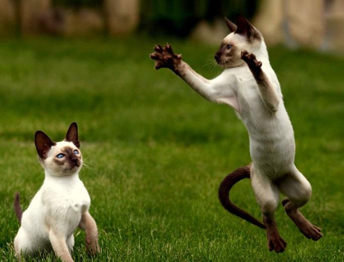 Игра сиамских кошек