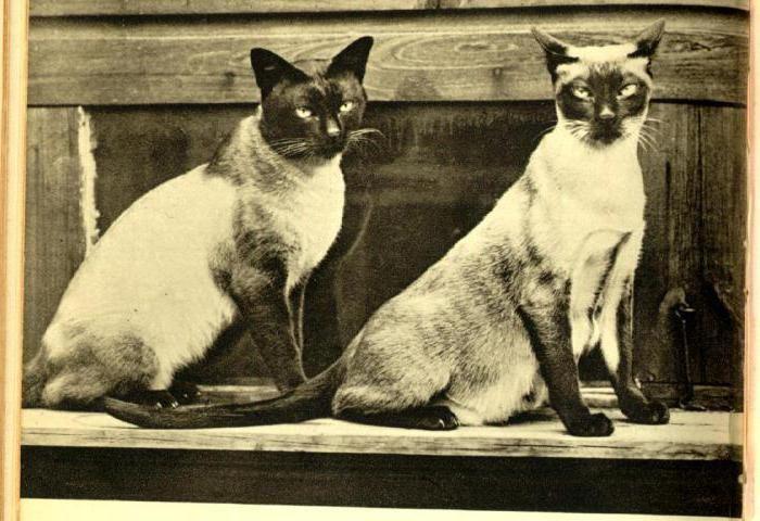 Старое фото сиамских кошек