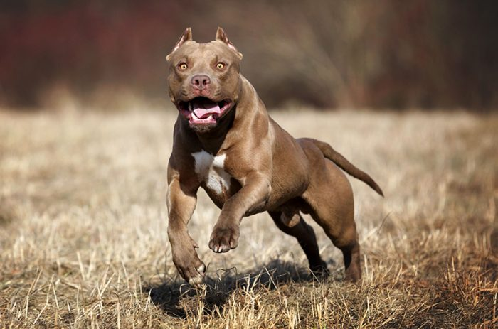 Собака породы питбультерьер