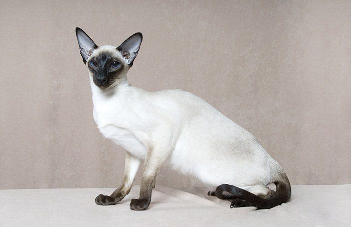 Чистокровная сиамская кошка