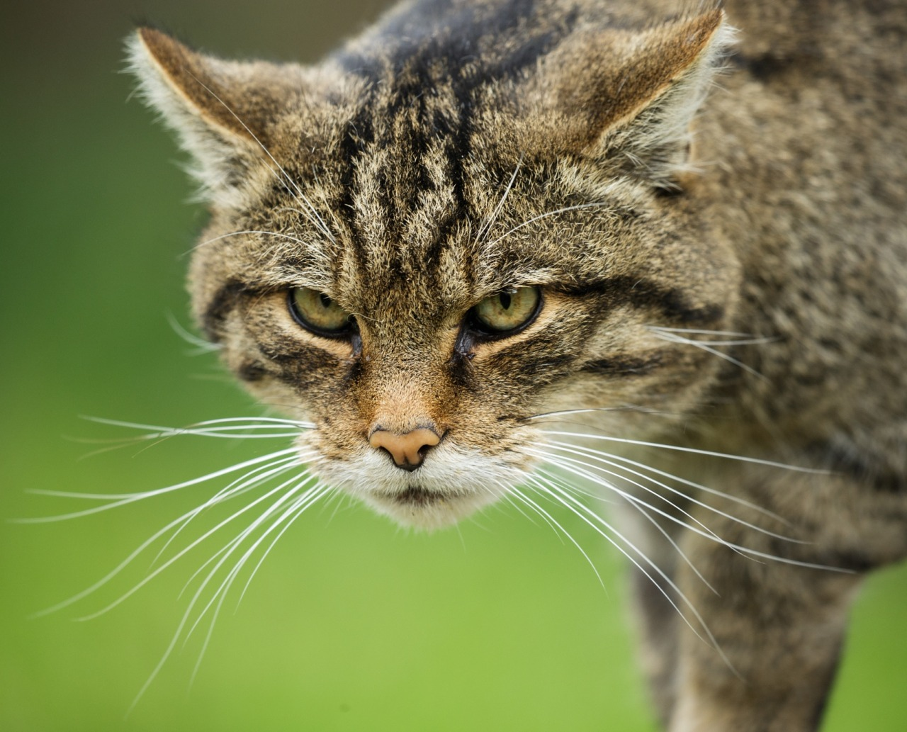 Два котёнка дикой шотландской кошки спасены в горах