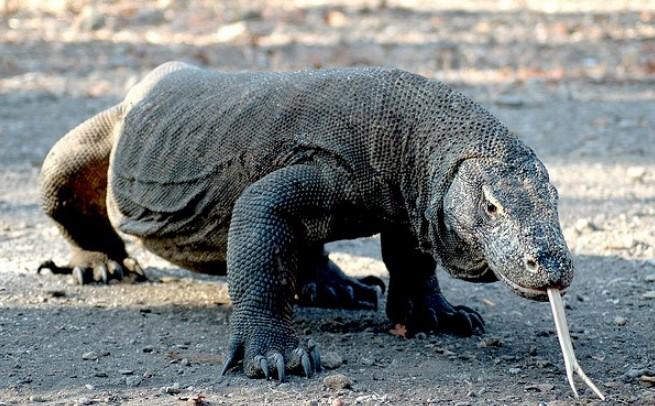 Комодский варан — самое страшное животное в мире