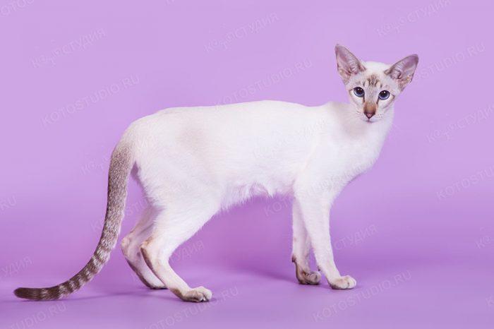 Кошка чистокровной сиамской породы