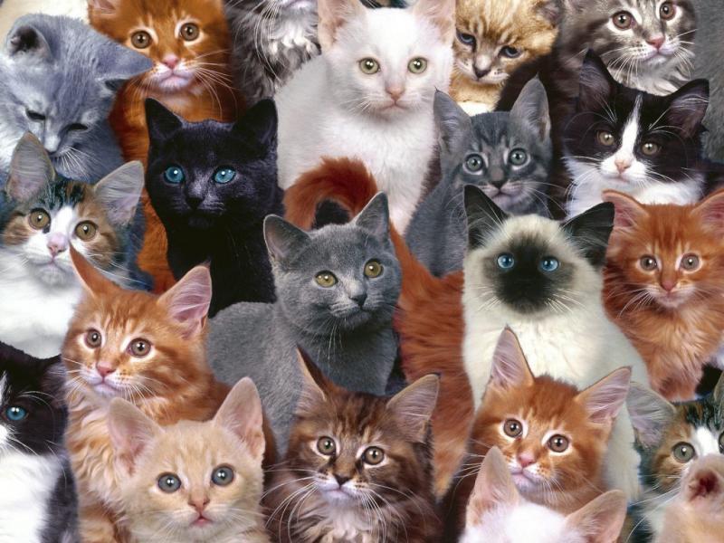множество кошек