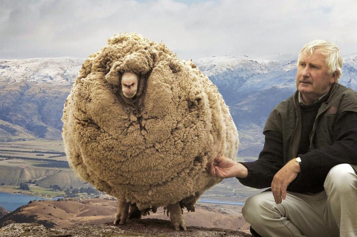 Австралийские фермеры состригли с барана 30 кг шерсти