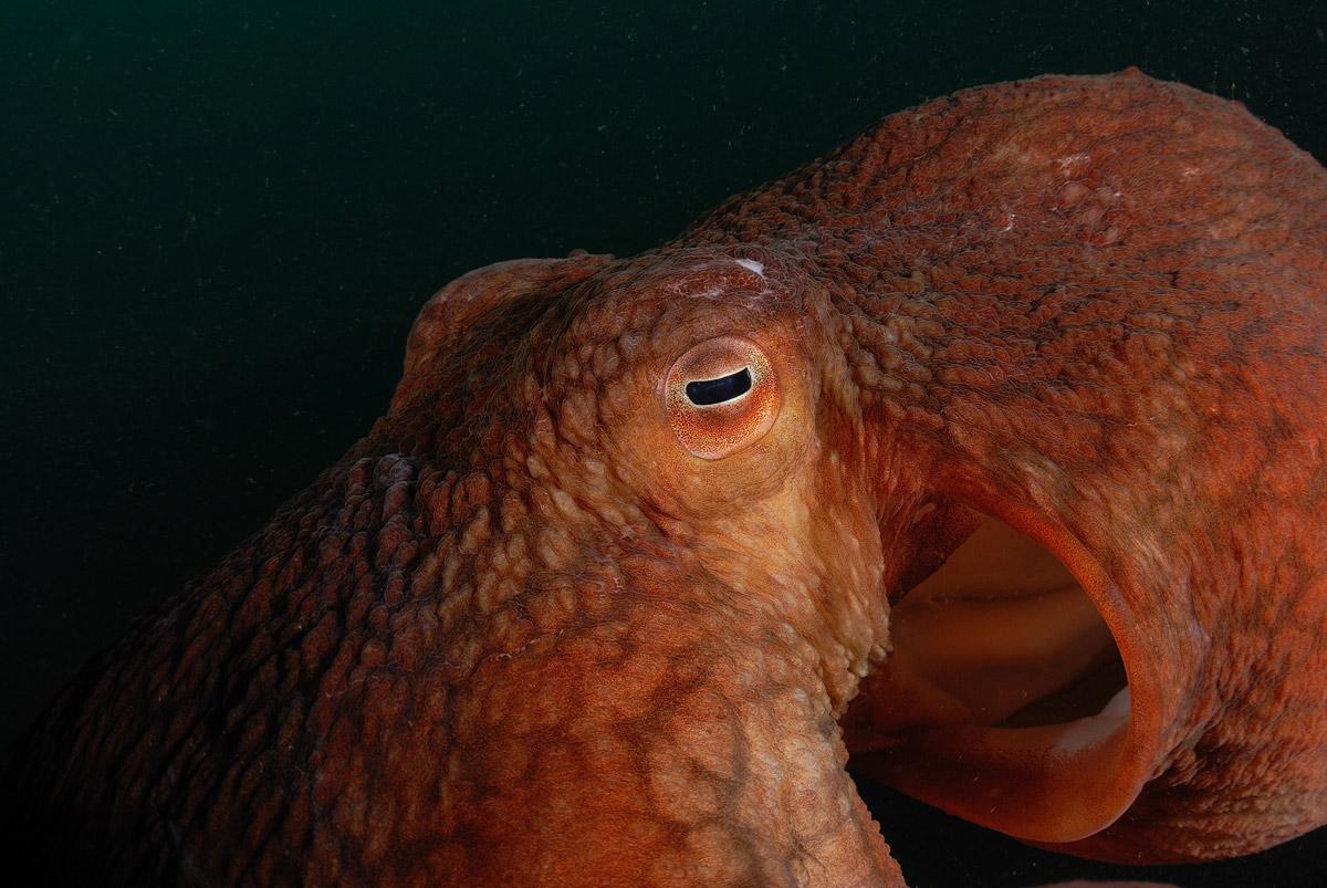 Умный осьминог попросил дайвера помочь ему с охотой