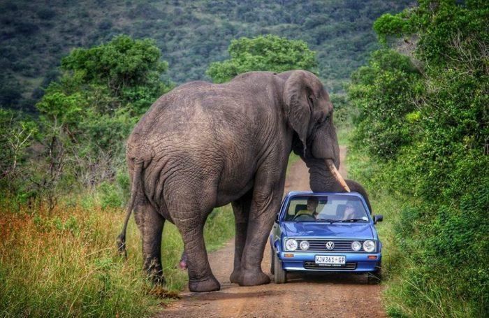 Слон рядом с автомобилем