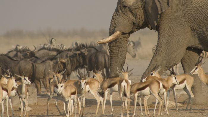 Слон среди других животных