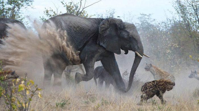 Слон против леопардов