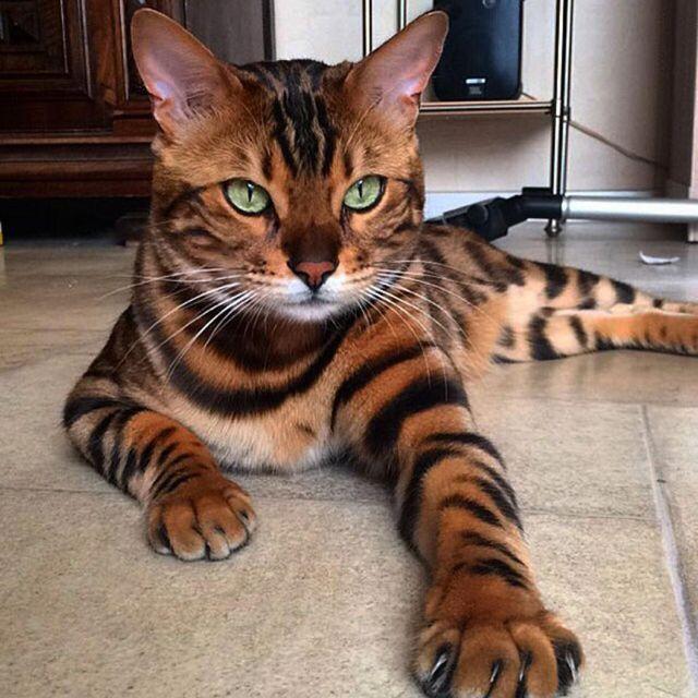 Бенгальская кошка — фото и описание.