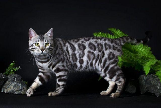 Серая бенгальская кошка