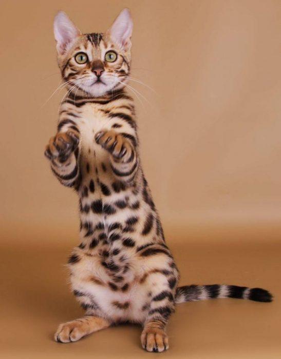 Бенгальский котёнок стоит на задних лапках