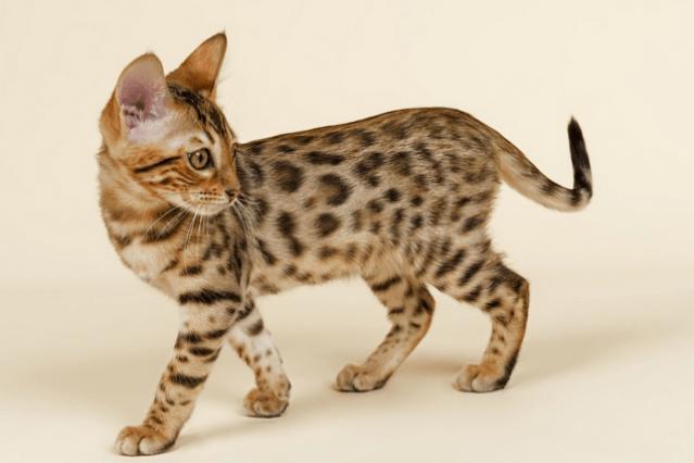 Бенгальская кошка стоит