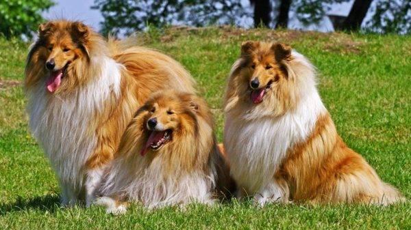 Собаки колли