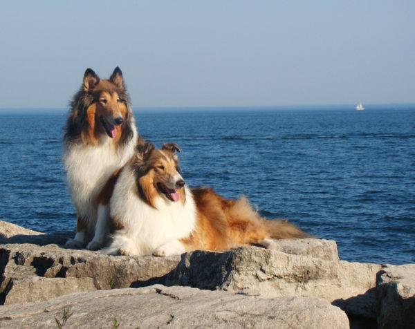 Собаки породы колли