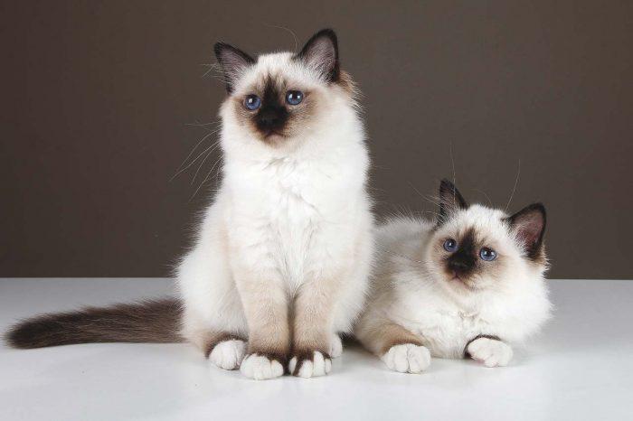 Постановочное фото бирманских кошек