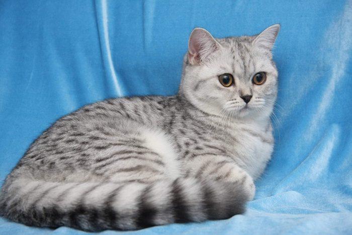 Британская короткошёрстная кошка на голубом фоне