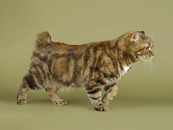 Безхвостый кот
