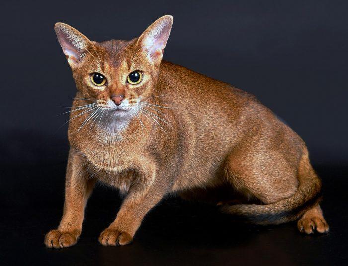 Абиссинская кошка — постановочное фото