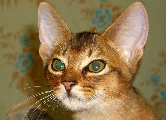 Кошка абиссинской породы на фоне стен