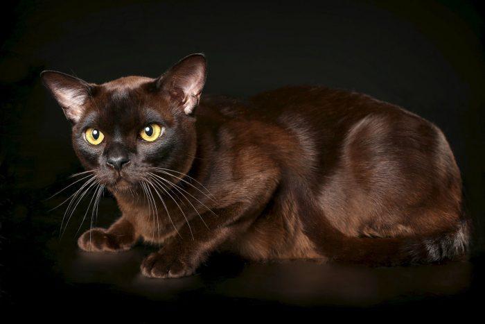 Бурманская короткошёрстная кошка американского типа на тёмном фоне