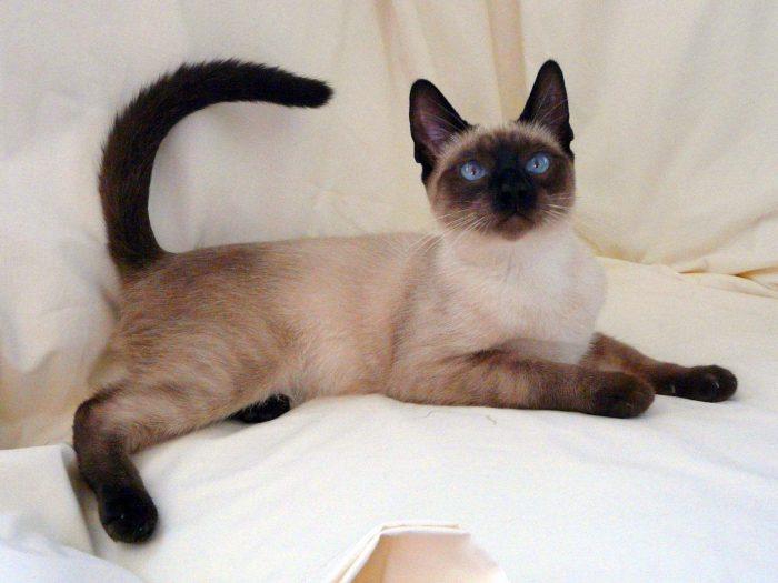 Сиамский кот на подушках