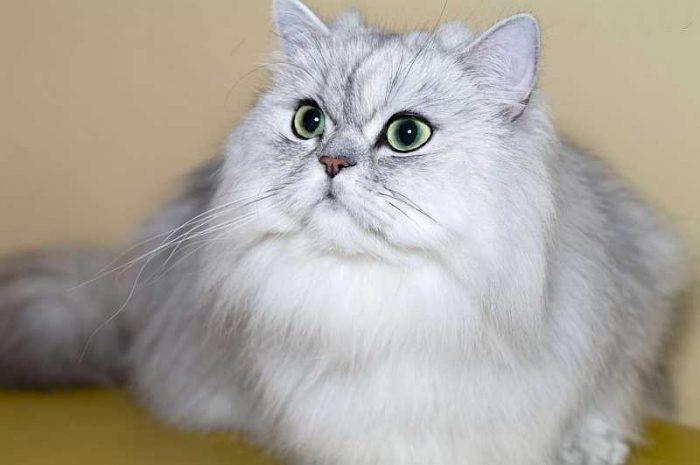 «Диванная кошка»