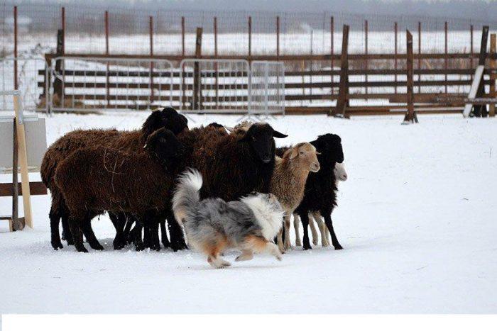 Собака Шелти с группой овец