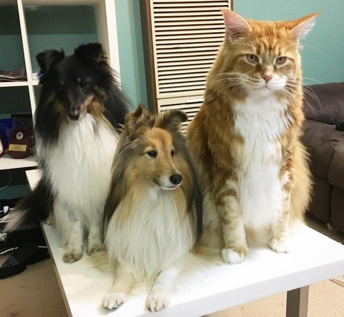 Собаки породы Шелти с котом