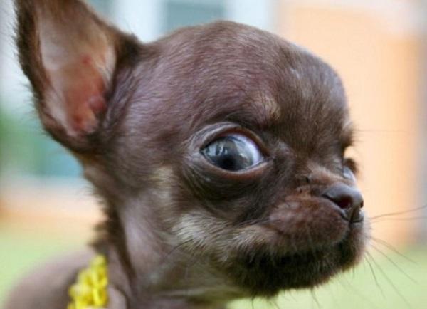 Самая маленькая собака-подозревака