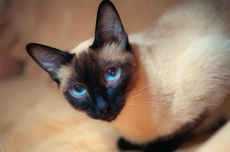 Сиамская кошка — фото и описание