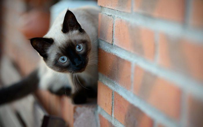 Сиамский кот выглядывает из-за угла