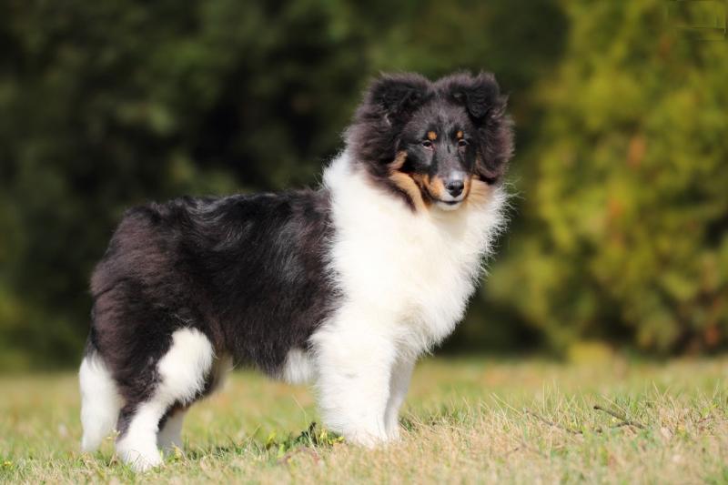 Собака породы Шелти