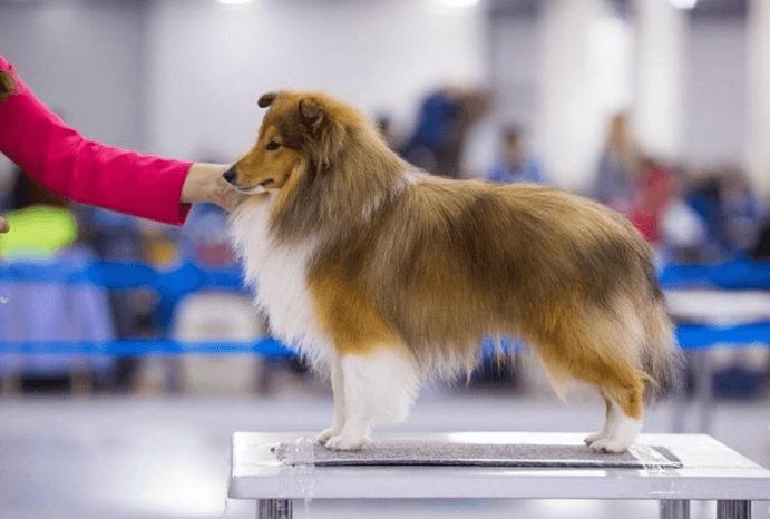 Собака Шелти на выставке
