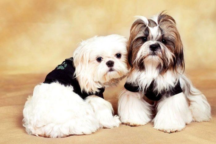 Собаки породы ши-тцу