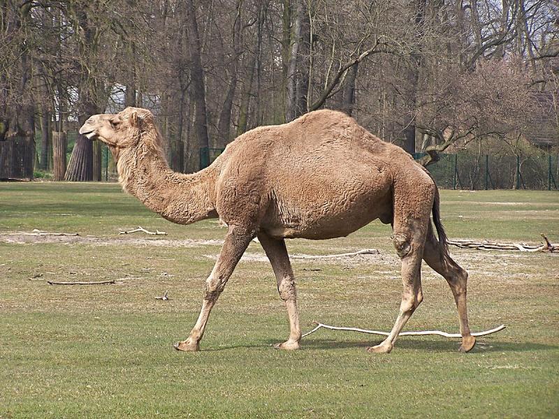 Побег из цирка: верблюд на шоссе