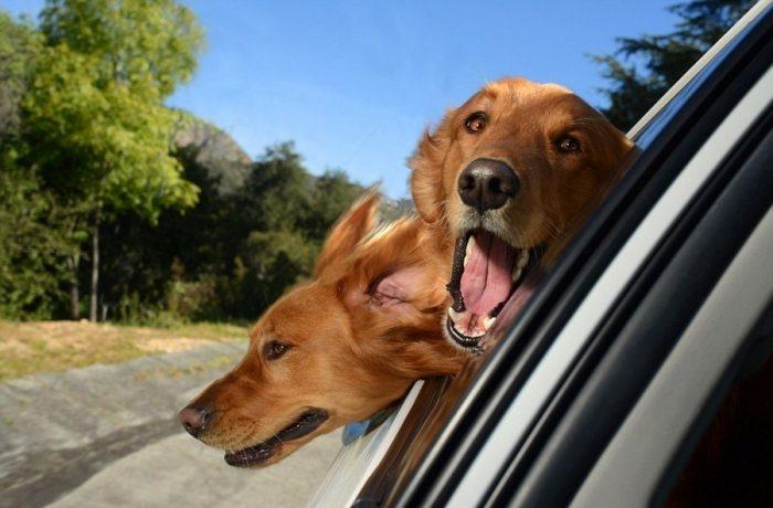 Собаки выглядывают из окна