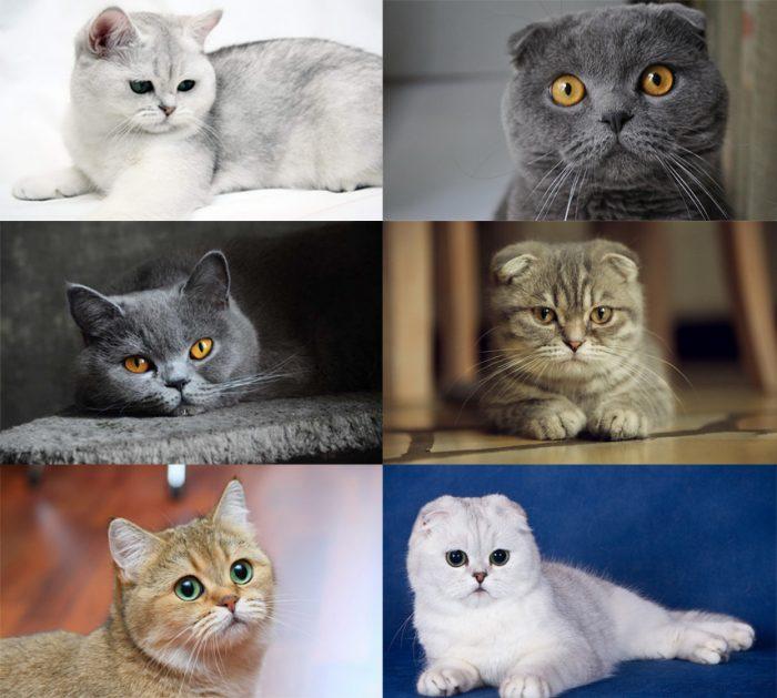 Британские и шотландские кошки