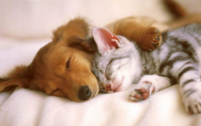 Кошка и собака спят вместе