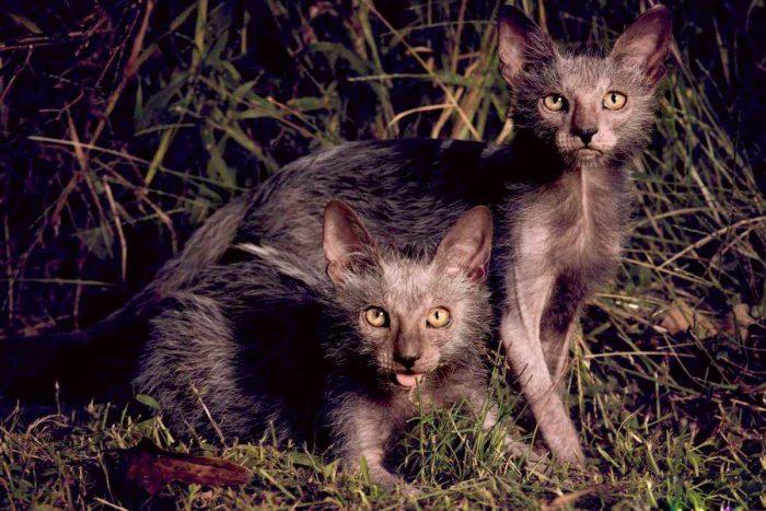 Кошки породы ликой