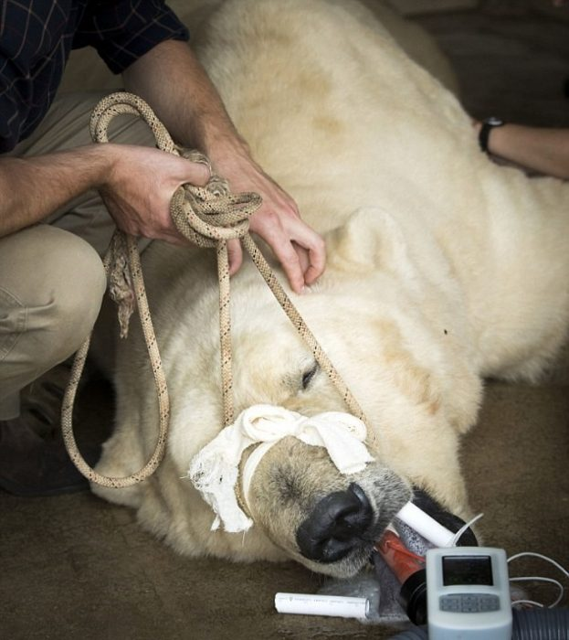 Лечение белого медведя
